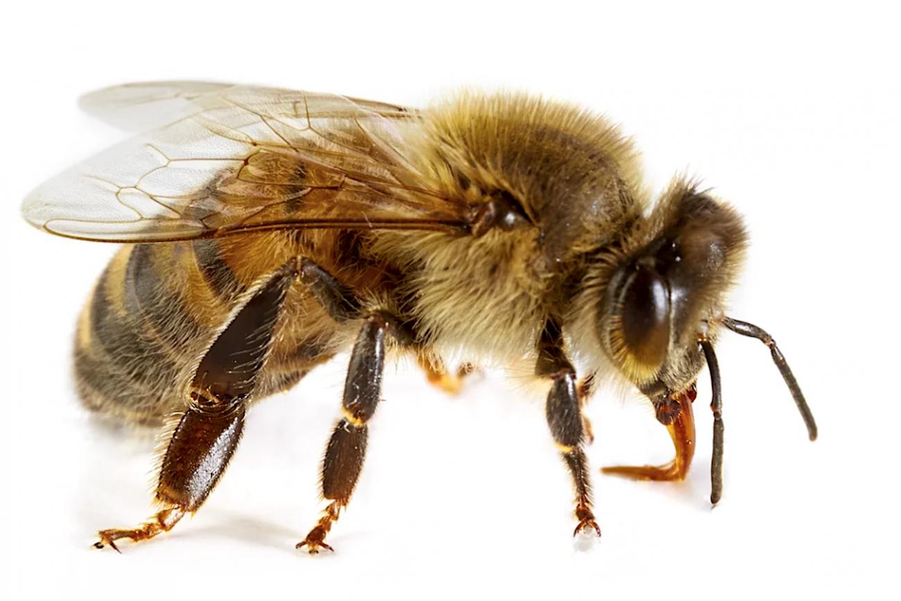 Cosa fare in caso di punture di api vespe e calabroni e for Immagini di api per bambini